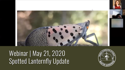 screen shot of spotted lanternfly