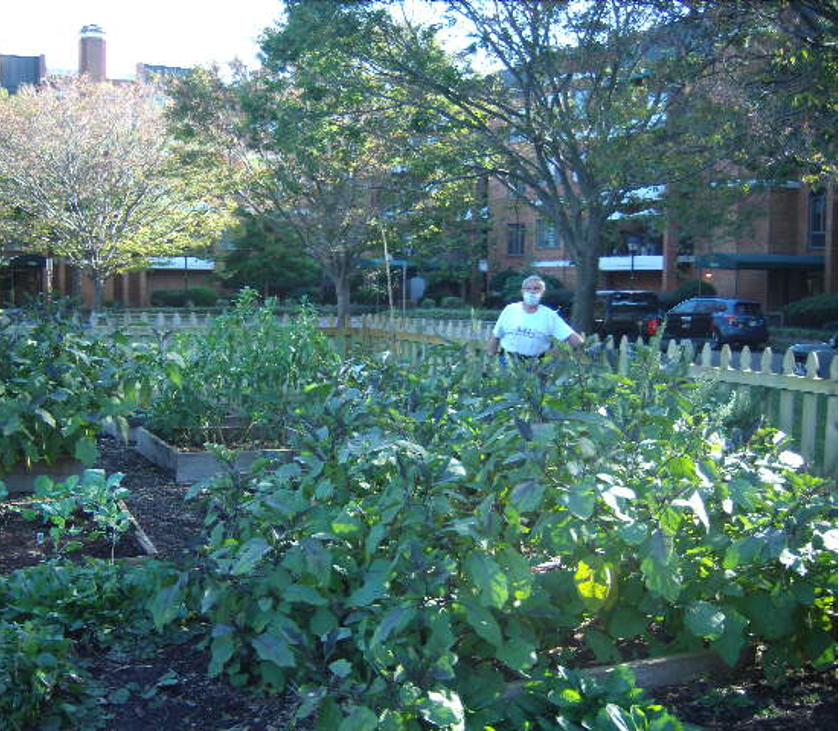 A man wearing a mask stands near a fence in an urban garden. Tall eggplant and collard greens cover the foreground.
